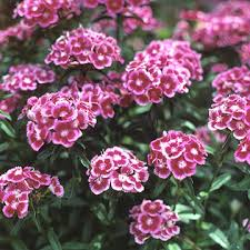 dianthus flower dianthus