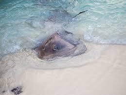taj exotica maldives stingray feeding bel around the world