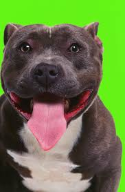 american pitbull terrier game bred bloodlines what is the greyline bloodline animals mom me