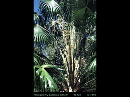 Canopy Synonyms by Livistona Australis Identifying Commonly Cultivated Palms