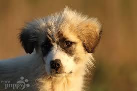 belgian shepherd for sale south africa romanian mioritic shepherd puppies breed information u0026 puppies for
