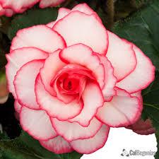 begonia flower white pink picotee begonia bulbs picotee begonias for sale