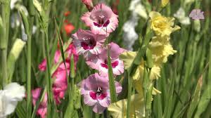 gladiolus flowers commercial cultivation of gladiolus flower at jessore bangladesh