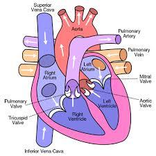 Sheep Heart Anatomy Quiz A Post With A Lot Of Heart Malouff U0027s Anatomy U0026 Physiology Blog