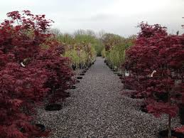 Purple Leaf Peach Tree by Trees U2013 Pine Ridge Nursery