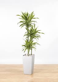 dracaena fragrans u0027lemon lime u0027 3 the green office