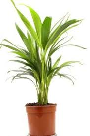 bird nest fern asplenium nidus pictures care keep soil