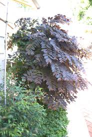wholesale native plants breynia u0027ironstone u0027 australian native plants pinterest