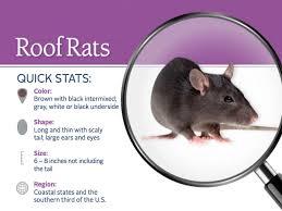 roof rats pest profile info u0026 photos