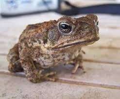 How To Get Rid Of Cane Toads In Backyard Kimberley Toad Busters