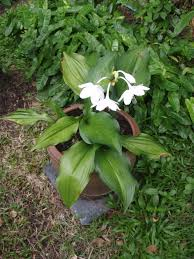 Fragrant Tropical Plants - mahachok u0027 lovely tropical bulb plants in thailand with fragrant