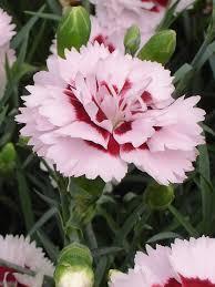 dianthus flower dianthus raspberry bluestone perennials