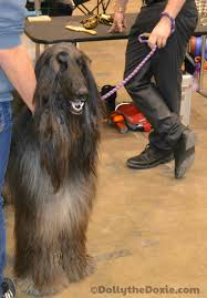 owning an afghan hound behind the scenes at an ikc dog show dolly the doxie