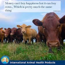 Cow Memes - fun cow memes irish dexter cattle