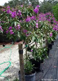 tibouchina granulosa tree purple spray tree toptropicals