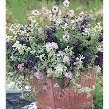 Fragrant Patio Plants Pastel Patio Annual Collection U003cbr U003e6 Plants White Flower Farm