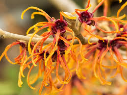 witch hazel for ingrown hair witch hazel uses for acne skin itching hemorrhoids dr weil