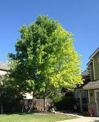 13 year old autumn blaze maple problem ask an expert