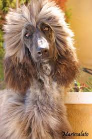 afghan hound 9 months euphoria mariscalato s afghans