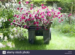 flowers in garden images wheelbarrow full of flowers in garden stock photo royalty free