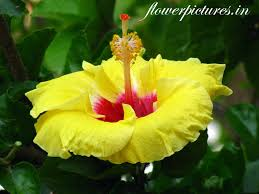 Yellow Hibiscus Flowers - yellow hibiscus flower flowers pictures indian flowers