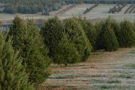 christmas trees 1100x733 jpg