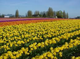 Tulip Field Flower Tulip Field Tulips Stripes Yellow Flowers Flower Wallpaper