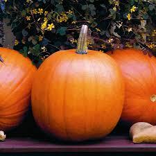 jack o lantern pumpkin classic round shape and flavor