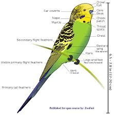 vital l full spectrum light for birds english budgies for sale