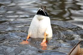 printable pic of ducks on icou us