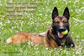 belgian shepherd houston belgian malinois photo quoto