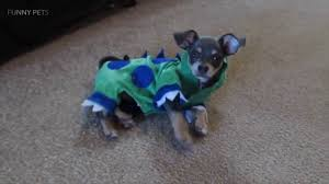 funny animals in halloween costumes pets in halloween costumes