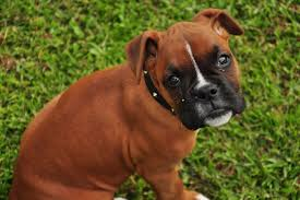 boxer dog tail docking boxer dog breed information pictures characteristics u0026 facts