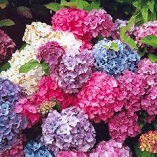 hydrangeas flowers hydrangeas wholesale wedding and event flowers portland