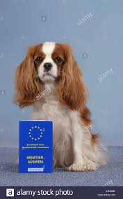 cavalier king charles spaniel blenheim with vaccination card stock