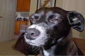 Grumpy Dog Meme - quiz do you know your dog meme