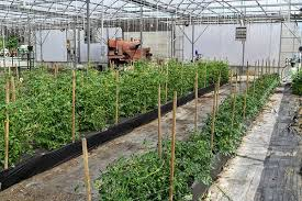 michigan ornamental growers extend season with greenhouse