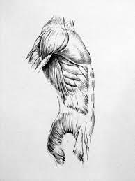 anatomical drawing by taylorweaved on deviantart