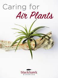 Air Plants How To Care For Tillandsia Air Plants U2013 Blackhawk Hardware