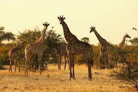 giraffe extinction iucn says animal threatened in ranking time