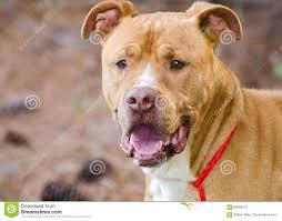 american pitbull terrier merchandise brindle american pitbull terrier bulldog stock photo image 84082573