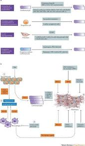 Tissue Renewal Regeneration And Repair Heart Regeneration And Repair After Myocardial Infarction