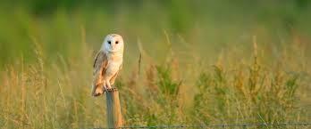 Barn Owl Photography Barn Owl Cam Update Essex Wildlife Trust