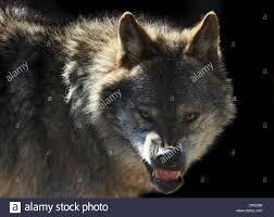 australian shepherd teeth anger dog teeth animal stock photos u0026 anger dog teeth animal stock