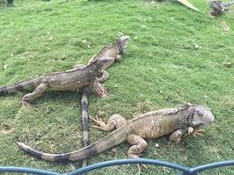 imágenes de iguanas verdes foto de parque de las iguanas guayaquil iguanas verdes mansas por