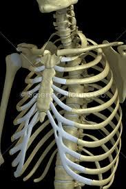 the rib cage spc id 0741 science 3d illustration