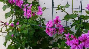 how to grow geranium plant climbing geranium big advice youtube