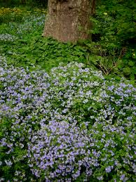 plants native to new york native white violets carolyn u0027s shade gardens