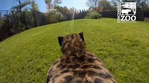 gopro view of cheetah run cincinnati zoo youtube