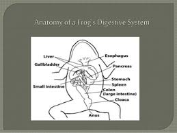 digestive system of a frog